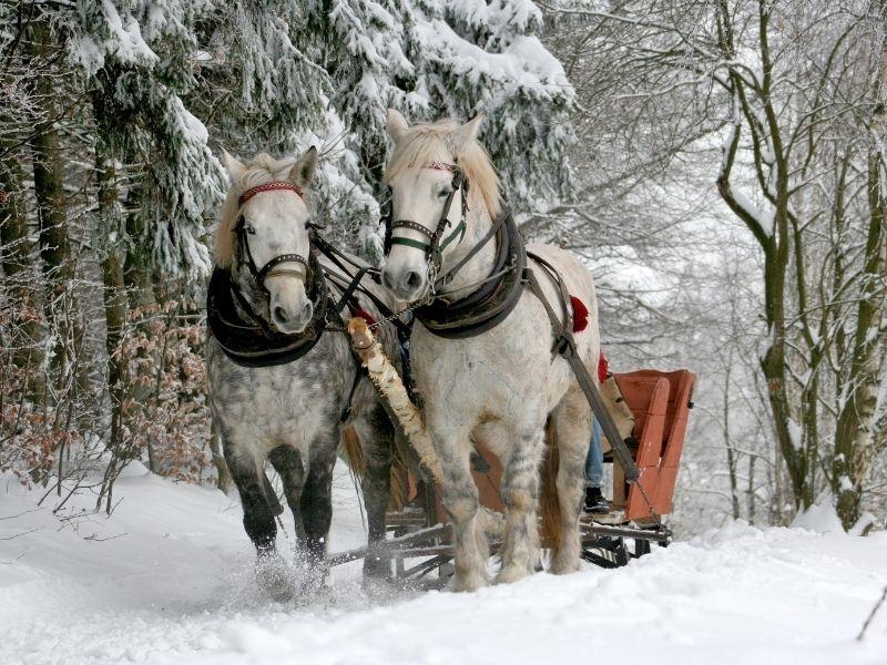 Horse Drawn Sleigh Taiga Forest