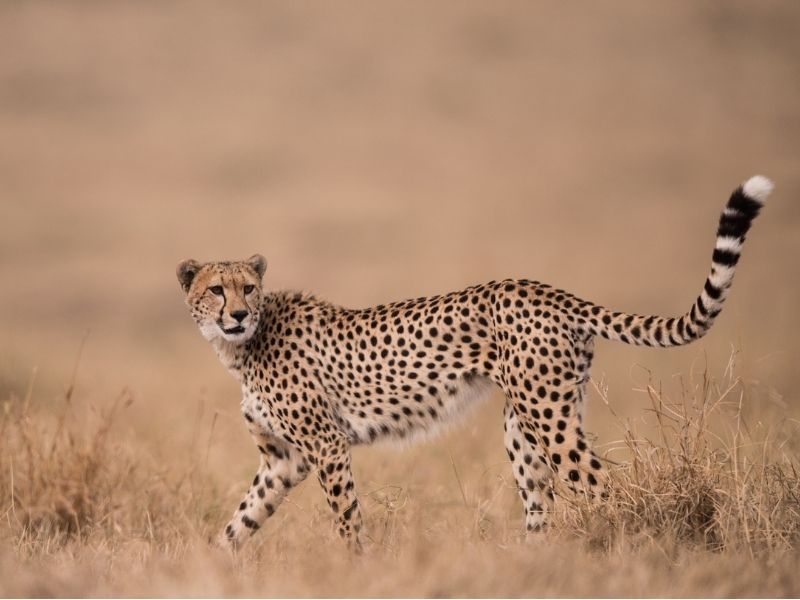 Wildlife Masai Mara