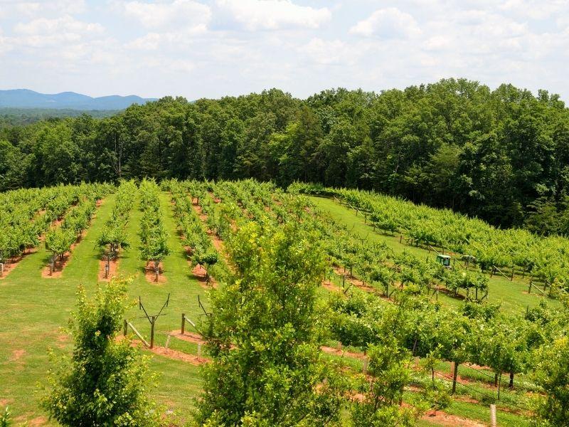 Georgia Vineyard