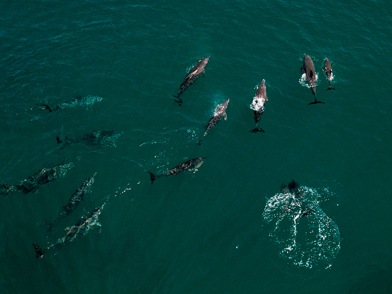 Dolphins Indonesia