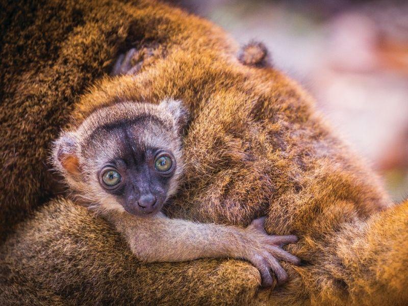 Baby lemur, Madagascar