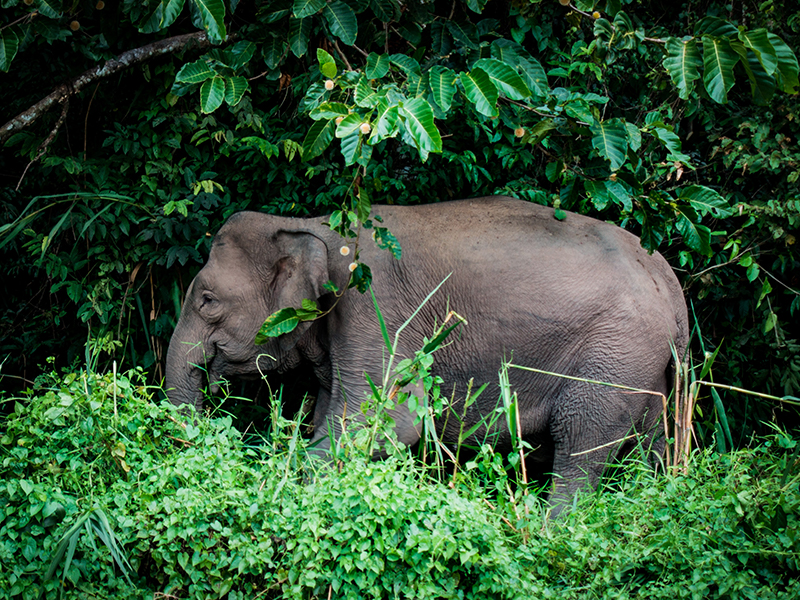 Elephant Kinabatangan