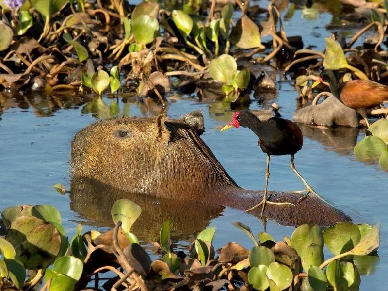 Capybara - Marimbus Wetlands