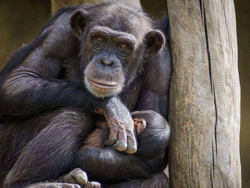 Chimpanzee, Rwanda