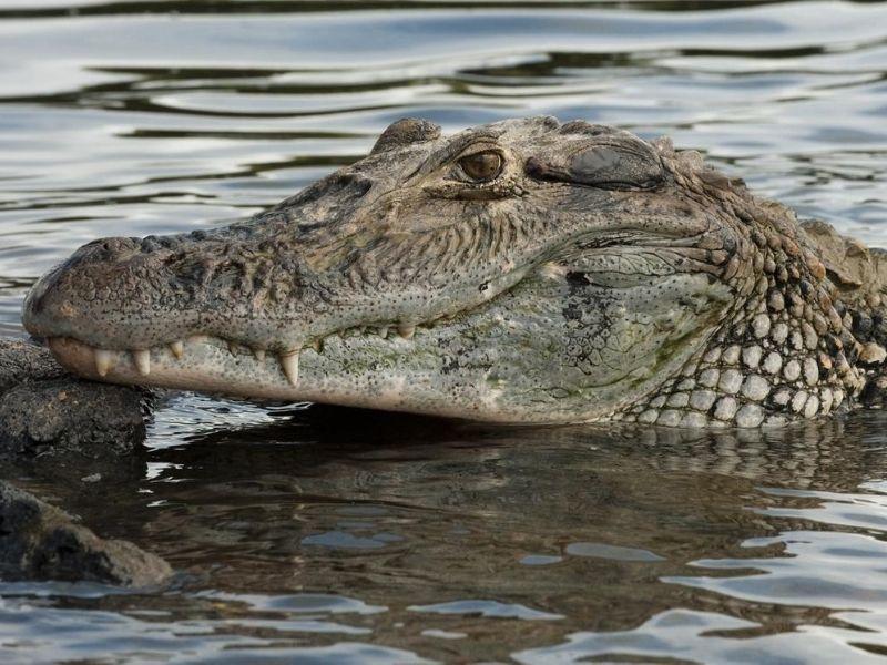 Guyana caiman