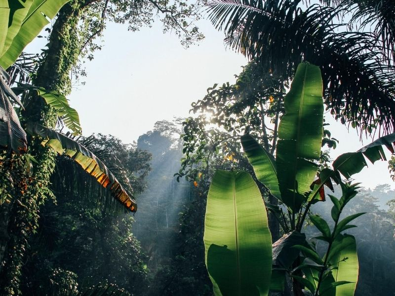 Guyana forest