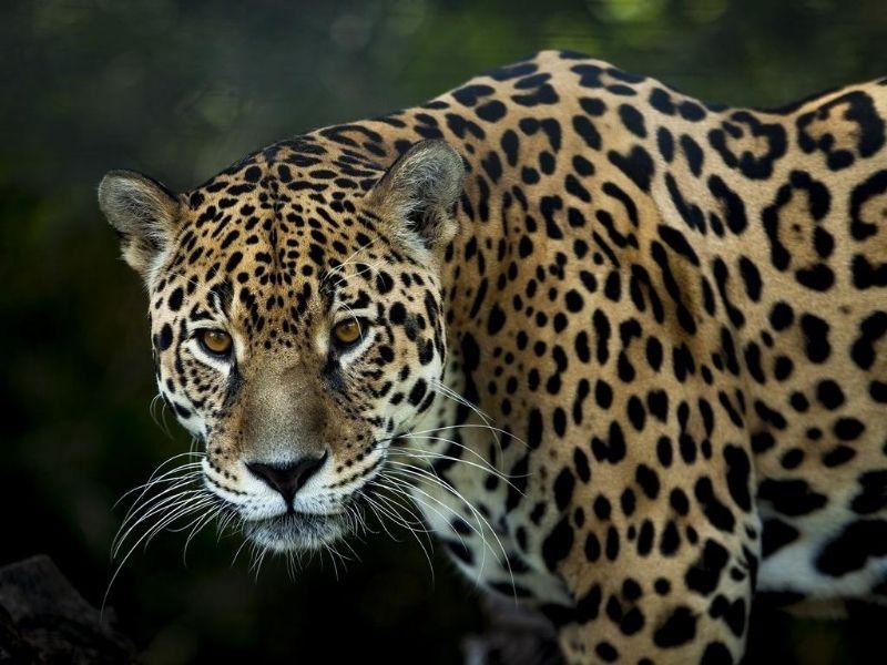 Guyana jaguar