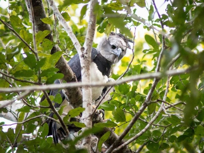 Harpy eagle Guyana