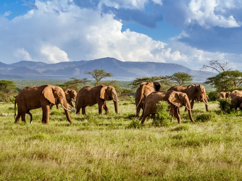 Elephant Herd Kruger National Park South Africa