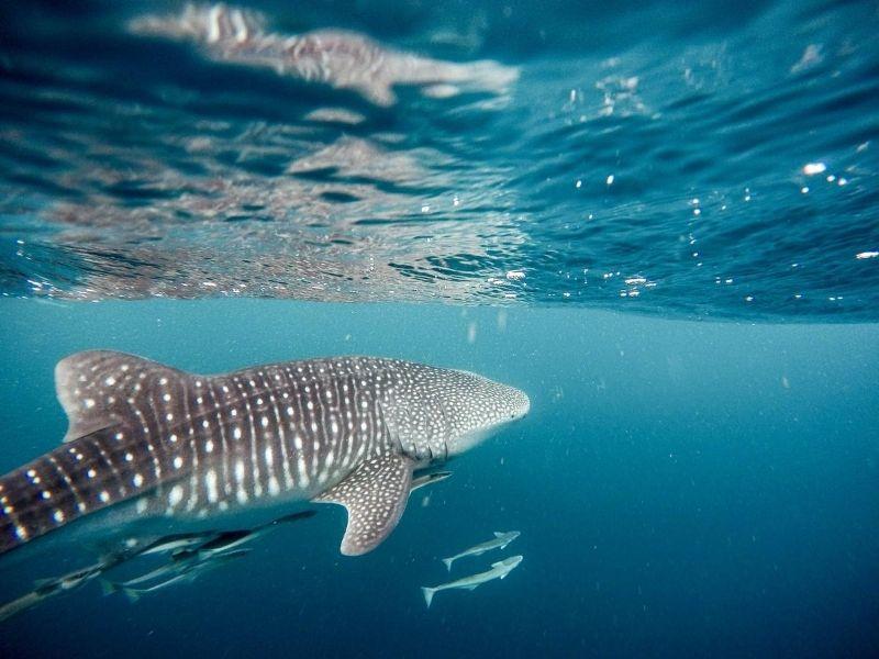 Whale sharks, Yucatan