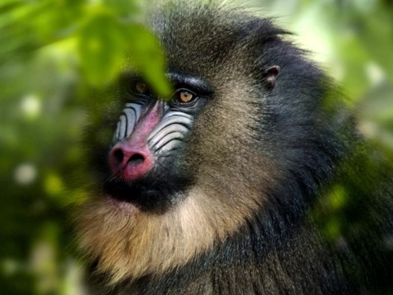 Gabon Baboon