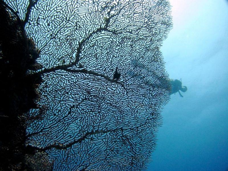 Giant Coral Fan