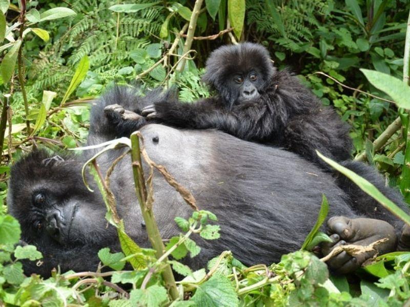 Gorillas, Kenya