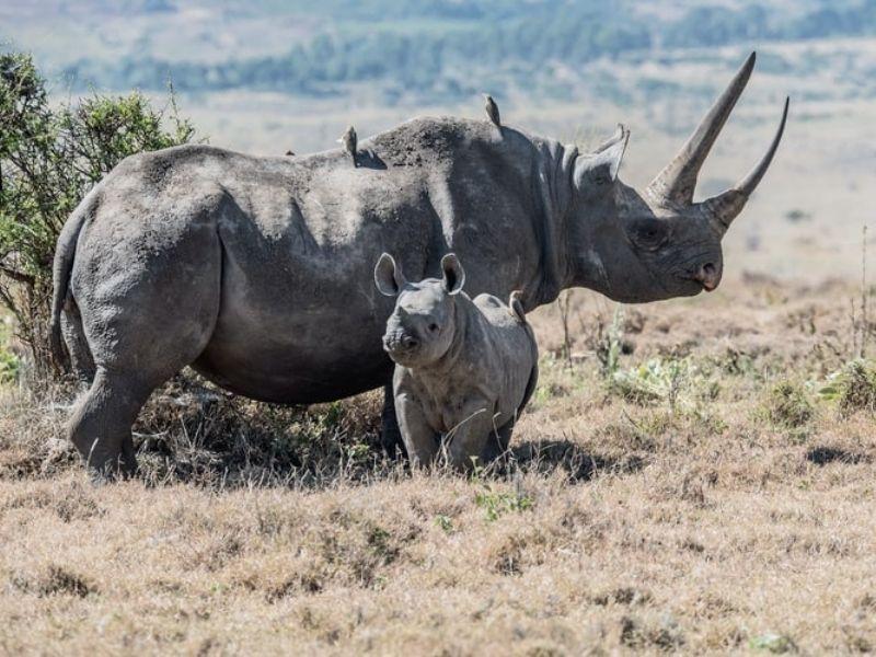 Kenya, Black rhino