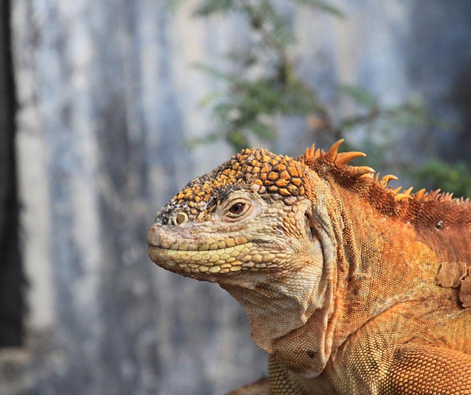 Land-Iguana-North-Seymour-Galapagos