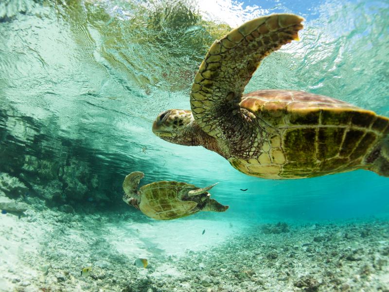Le Meridian Bora Bora French Polynesia Turtles