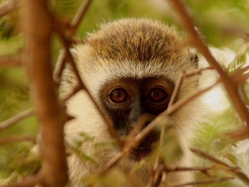 Monkey, walking safari in Kenya