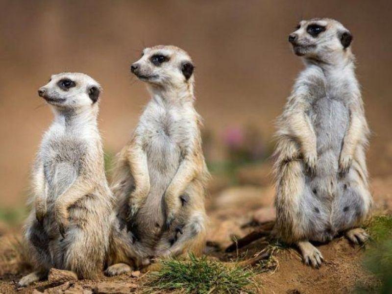 Namibia meerkats