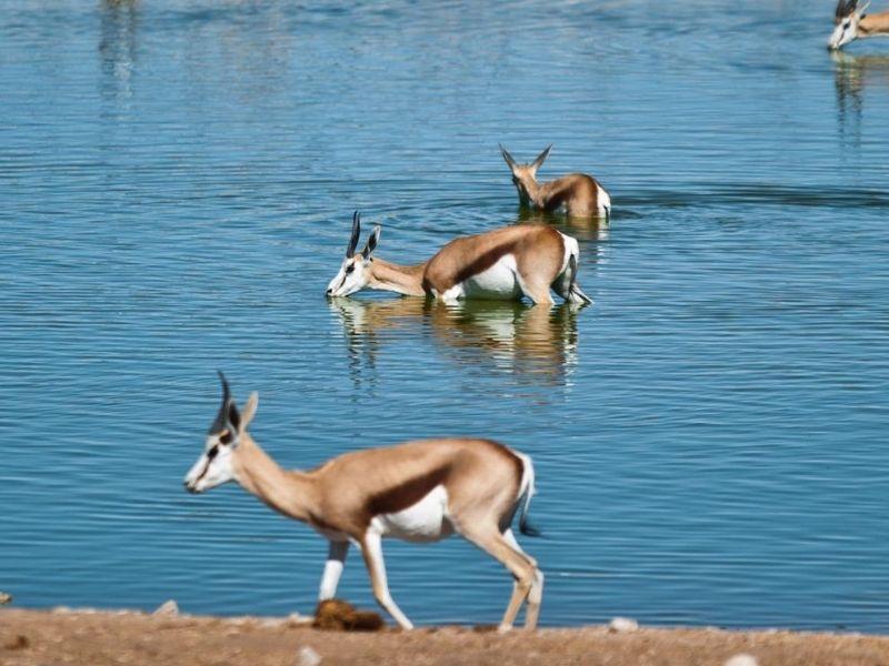 Namibia springbok in water