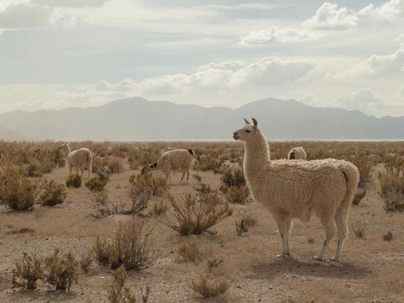 Alpacas Salta Argentina