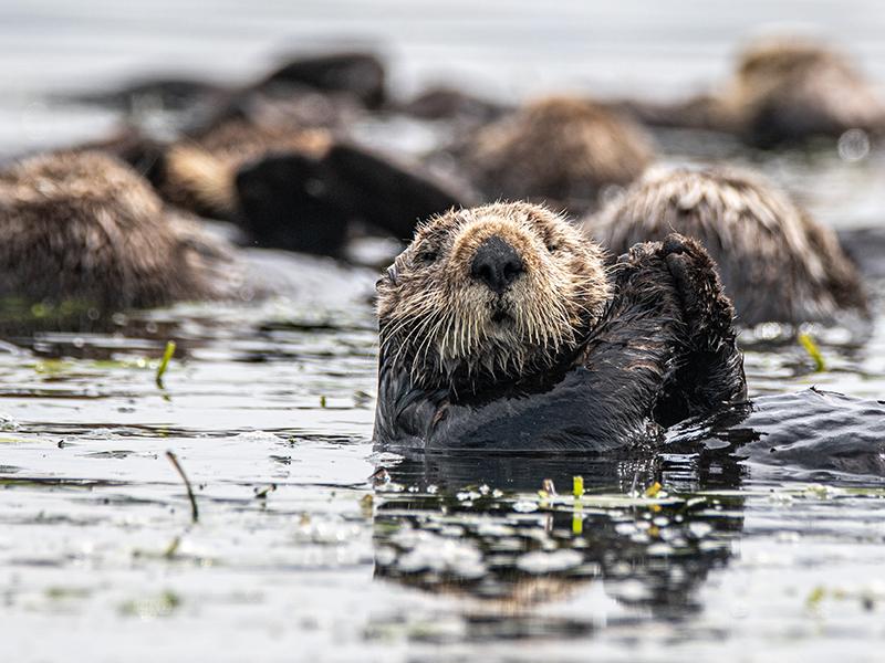 Otter, Canada