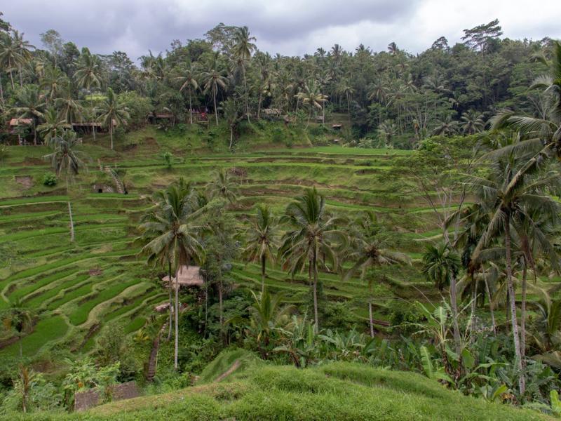 Paddy fields Ubud Indonesia