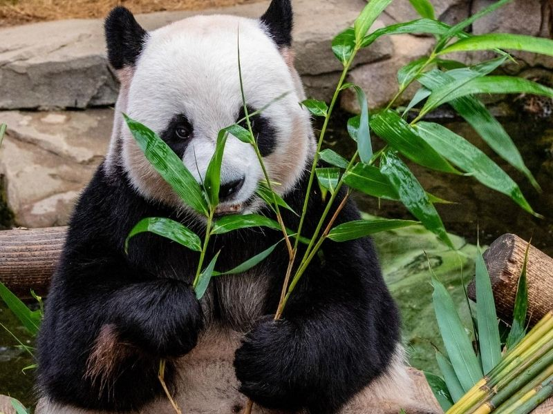 Panda eating leaves