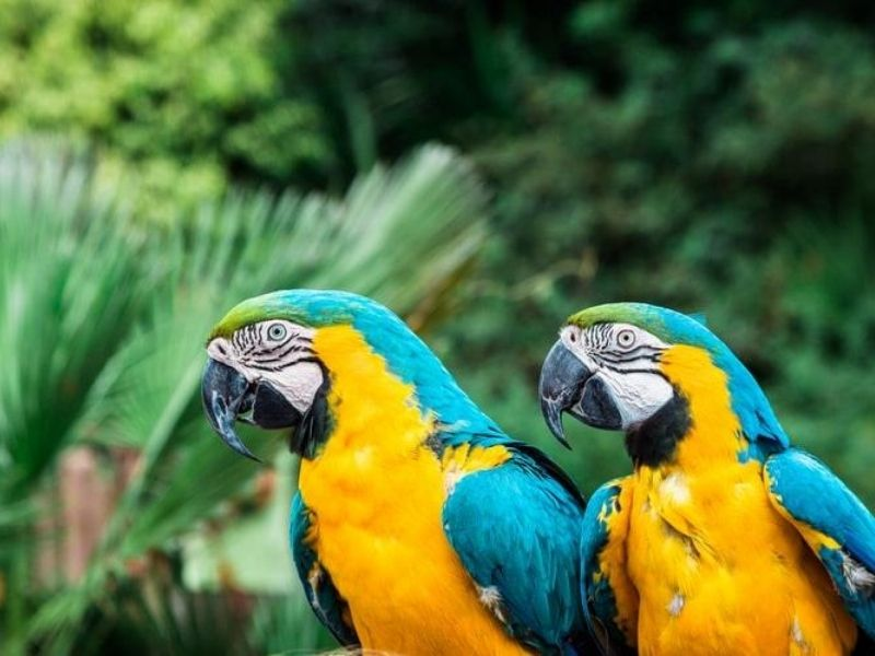 Peru, Amazon Rainforest - Macaws