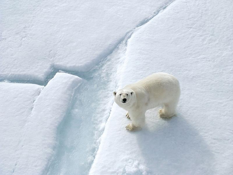 Quark Expeditions Polar Bear Arctic