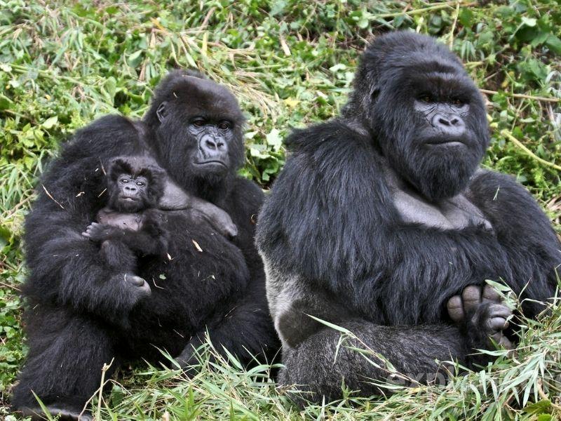 Gorillas with baby, Rwanda