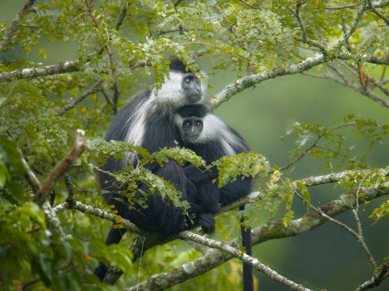 Colobus monkeys, Rwanda