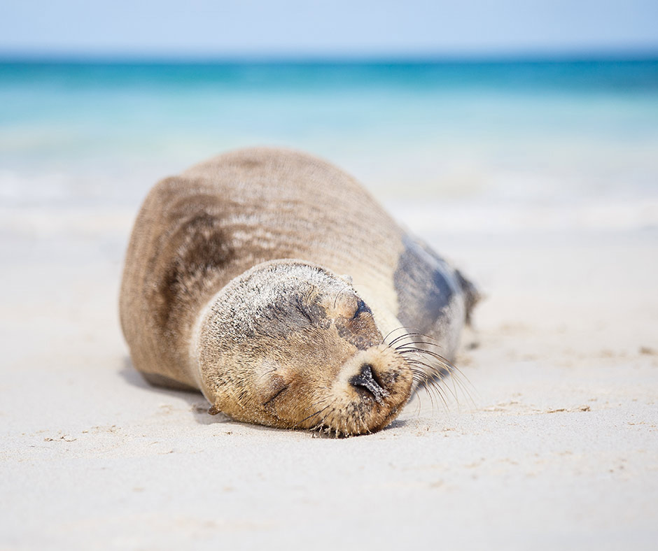 Seal-Galapagos-Darwin-Bay