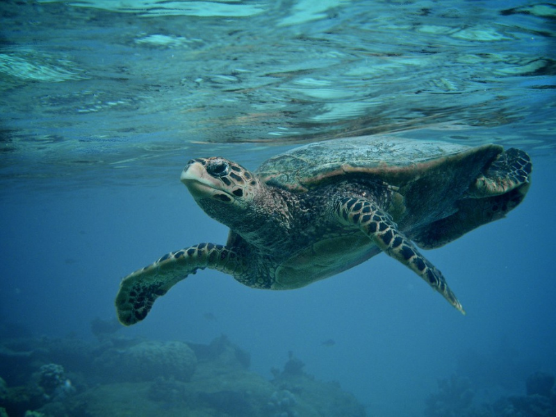 Search for sea turtles in the Maldives Indian Ocean