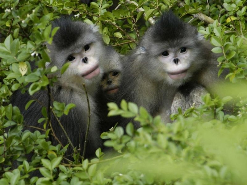 Snub-nosed monkeys, Yunnan Golden Monkey National Park