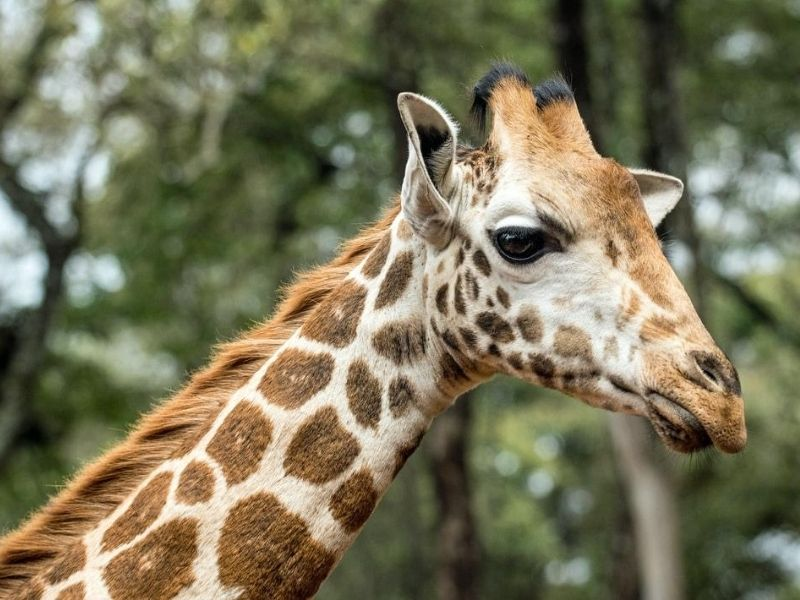 The Giraffe Centre, Kenya