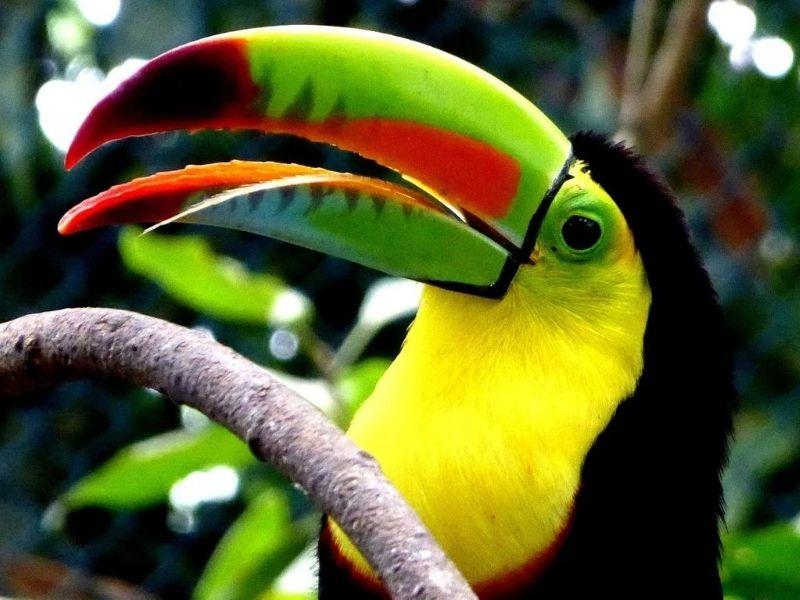 Toucans Amazon-Rainforest, Ecuador