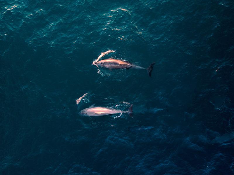 pink bottlenose dolphin