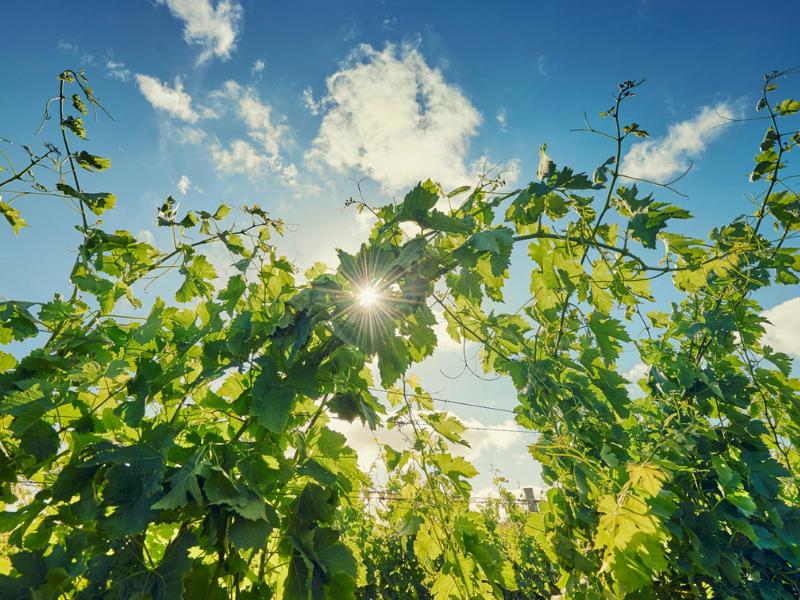 Vina Eden Vineyard Uruguay