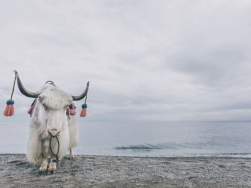 White yak standing near lake