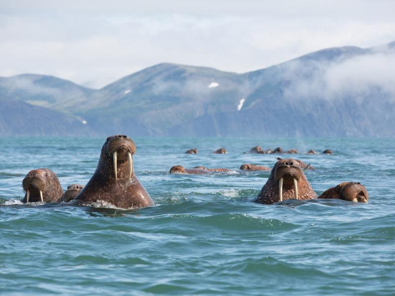 Wildlife on the Alaskan Cruise - Walrus