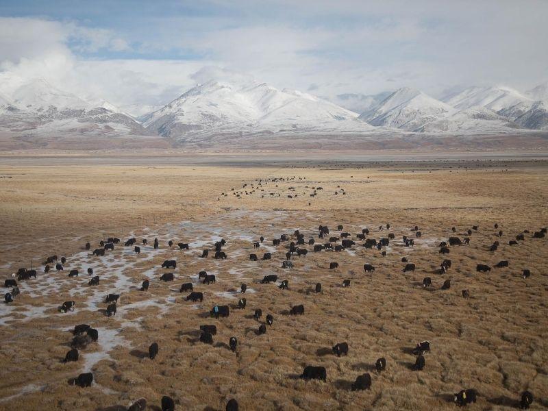 Yaks grazing on pasture in Tibet