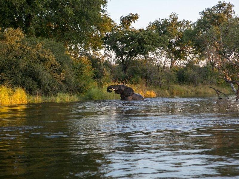 Elephant in Zambezi river