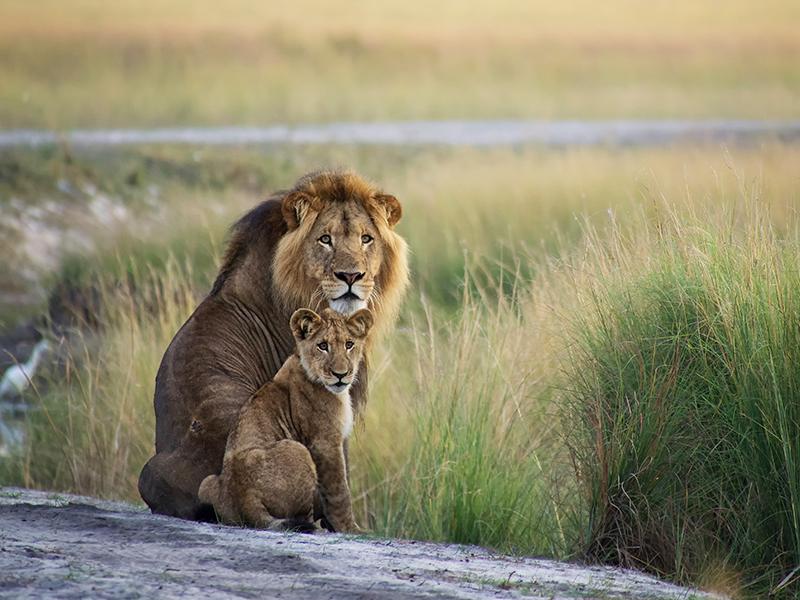 Zambia Lions