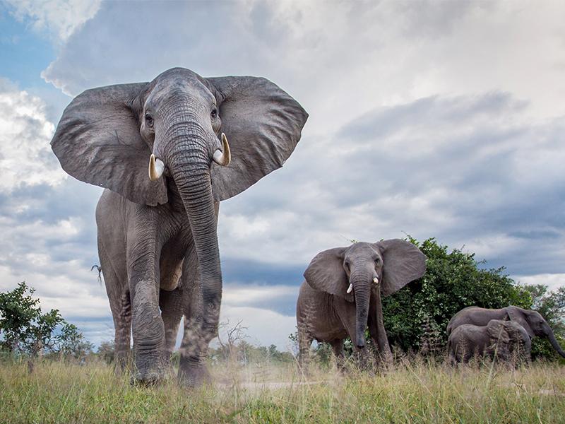Zambia Elephants