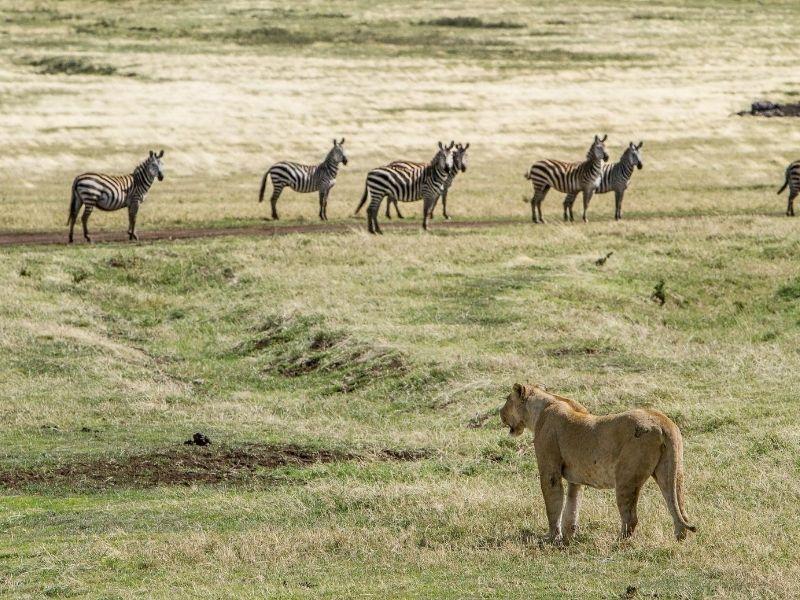 Zebras and lion, Ngorongoro